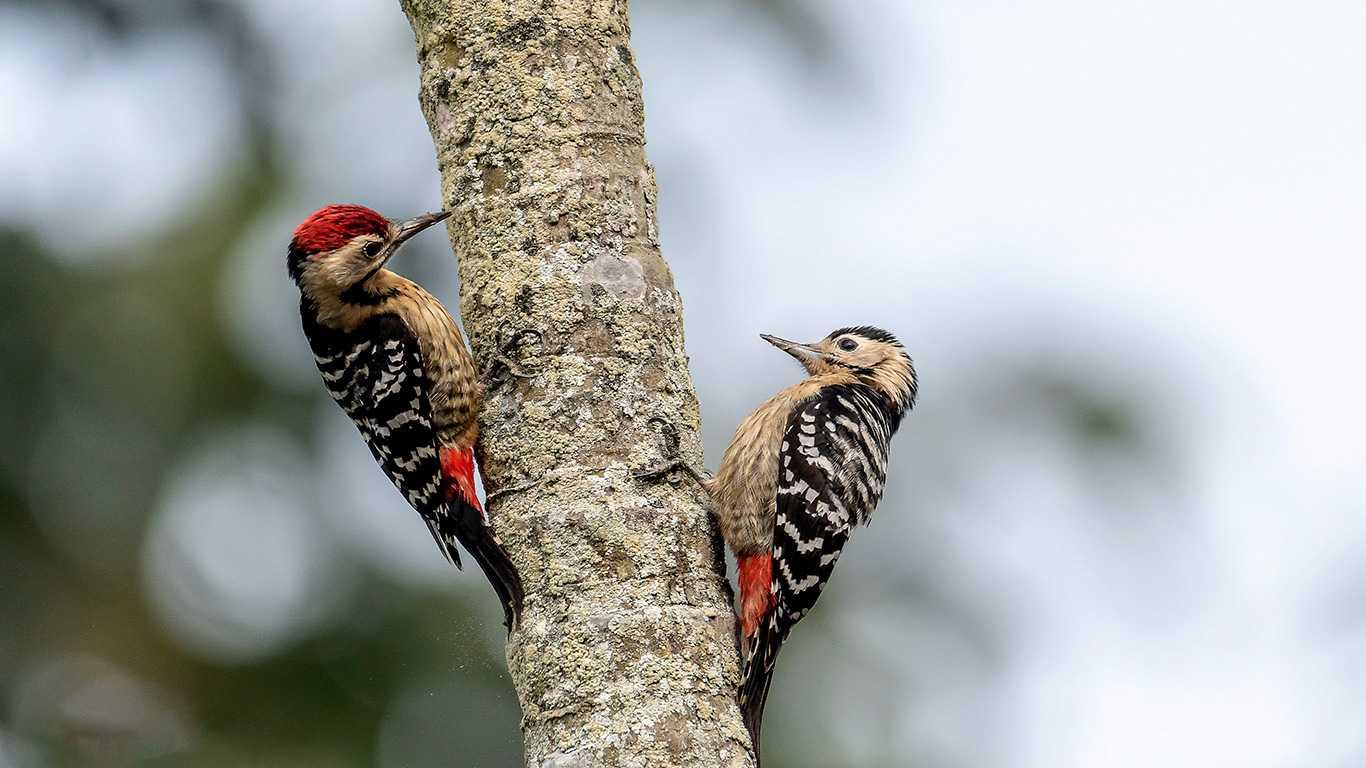 Woodpecker birds in tree Kathmandu